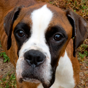 If you are looking for a beautiful, well-behaved boxer, look no further and ...