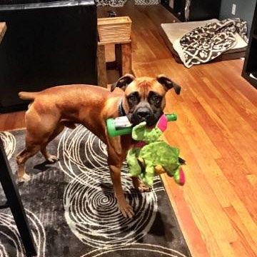 Atlanta Boxer Rescue Available Boxers