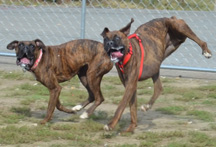 Boxers playing